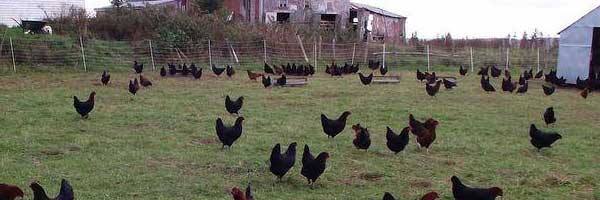 Free-run black hens roaming pastures
