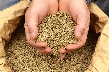 unhulled hemp seeds