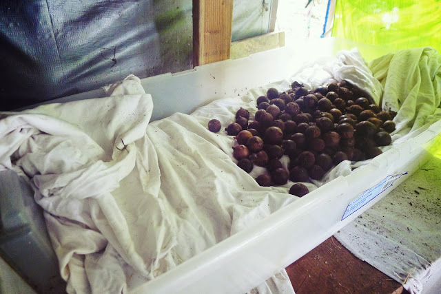 Drying Mac Nuts
