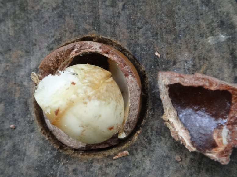 Macadamia nut with husk and shell removed.