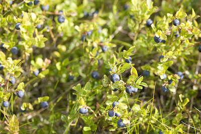 Wild blueberries growing on bushes.